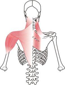 首、肩、背中の筋肉
