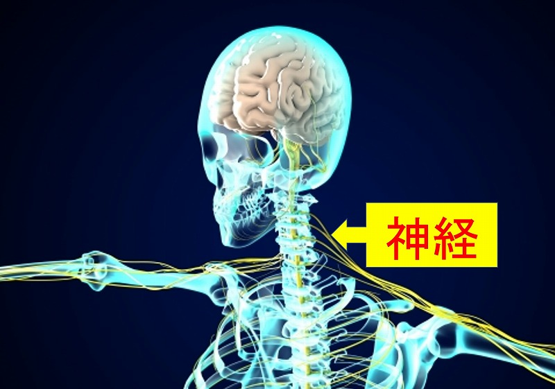 骨格と神経の図
