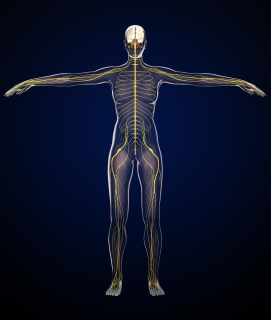 人体を通る神経