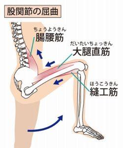 股関節の屈曲に関係する筋肉